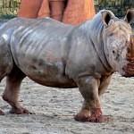 Nosorožci Pamir a Jessica se seznamují