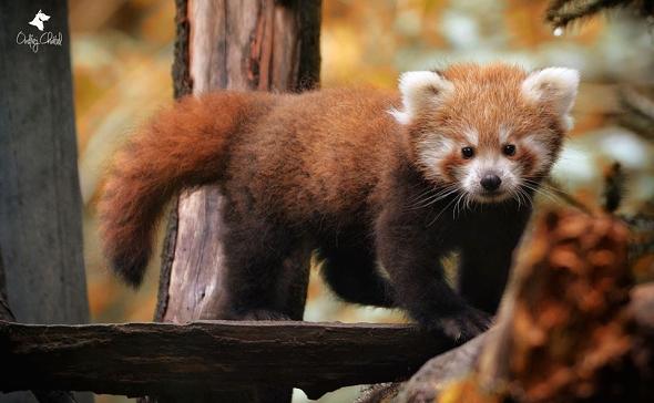 Panda červená - Jihlava