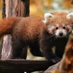 Pandí boom v českých zoo
