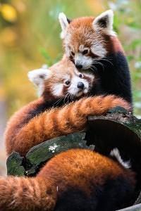 panda červená - Zlín-Lešná