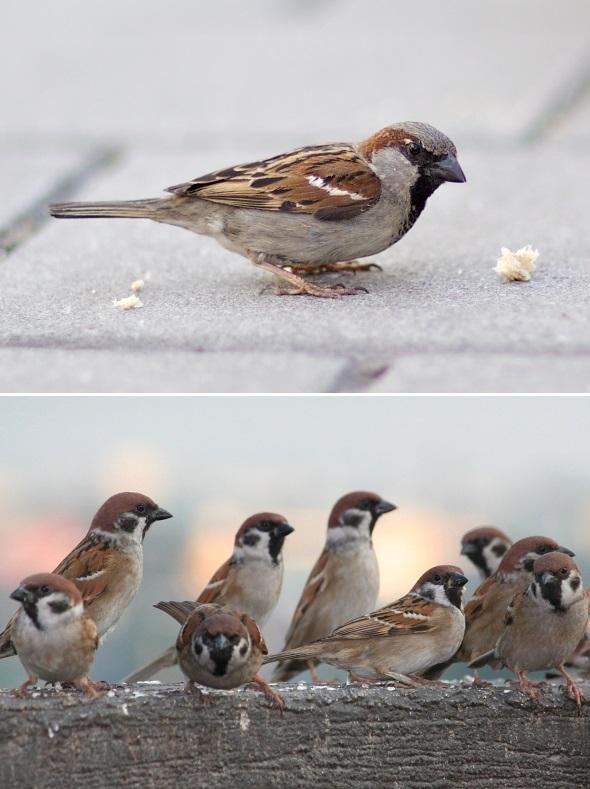 vrabec domácí, vrabec polní