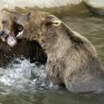 Medvěd Pišta oslaví 35. narozeniny