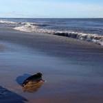 Tuleň Ronan vypuštěn do přírody!