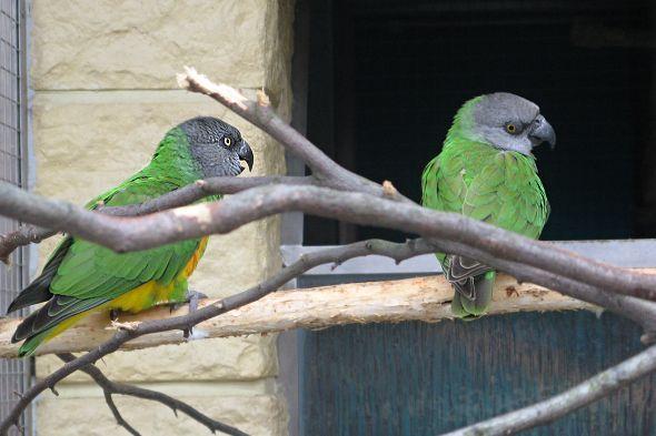 papoušek senegalský - mláďata