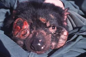 tasmánský čert rakovina