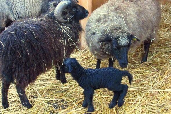 ovce oussantská - Zoo Tábor