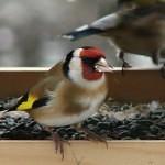 Přikrmujte a pozorujte ptáky na krmítku