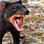 Vymírání tasmánských čertů se nedaří zastavit