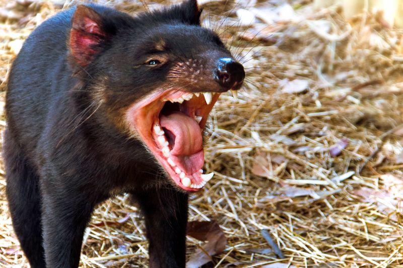 tasmánský čert tlama