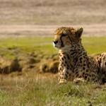 Gepard – špičkový závodník v puntíkatém dresu