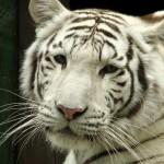 V Zoo Liberec se opět narodila bílá tygřata