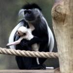 Zoo Dvůr Králové má další mládě guerézy