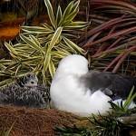 LIVECAM: Albatros laysanský na Havaji