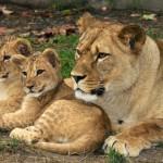 Berberští lvi v českých zoo