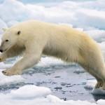 Proč má lední medvěd bílou srst?