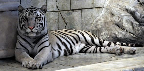 bílý tygr indický