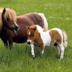 Falabella – koňský trpaslík