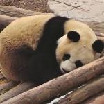 LIVECAM: Pandy velké v Číně