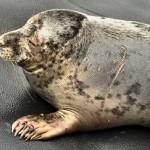 Adoptované tulení mládě se zotavuje