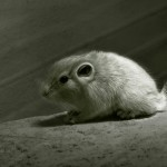 Gundi saharští ze Zoo Jihlava mají mláďata