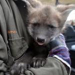 V Zoo Brno mají tři štěňata psa hřivnatého