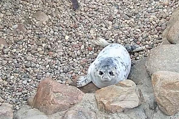 tuleň kuželozubý