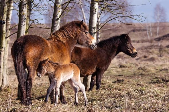 exmoorský pony