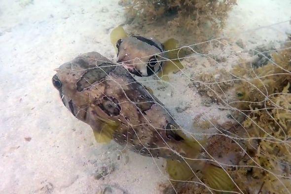 ježík černoskvrnný
