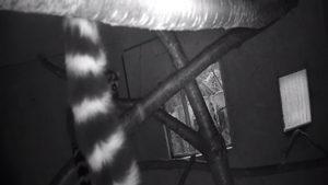 livecam-zajezd-lemur-uvnitr