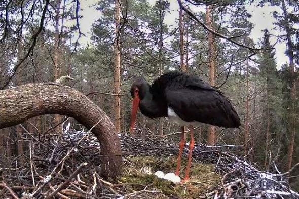 V hnízdě estonského páru už jsou také čtyři vejce. | Kredit: EEnet.ee; snímek: Liz01