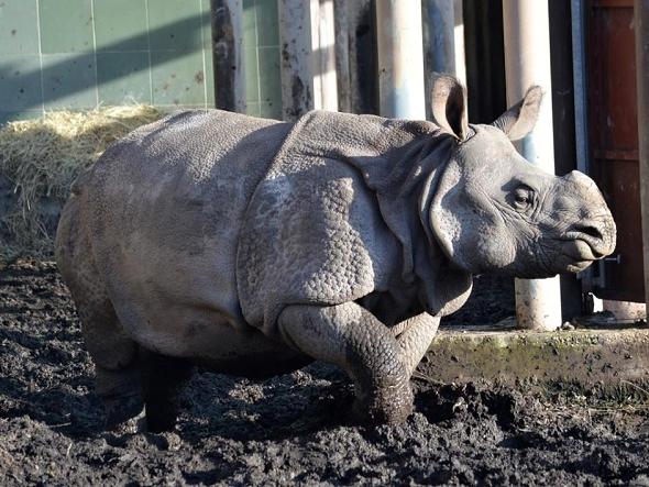 nosorožec indický