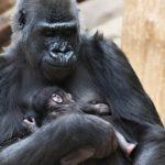 Gorilí samice Shinda v Praze nečekaně porodila