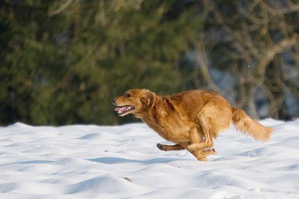 přivolání psa - lovecký pes