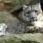 Za králi Himálaje do českých zoo