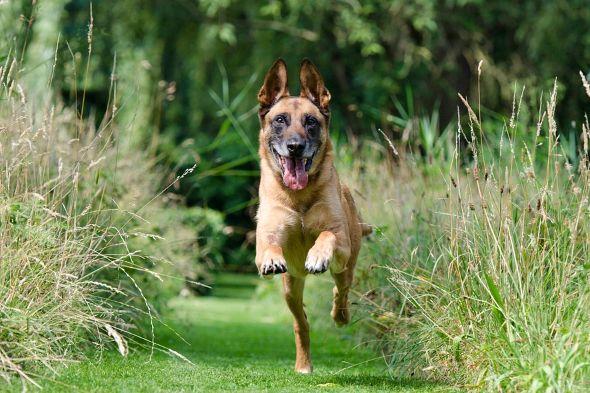 přivolání psa - belgický ovčák malinois