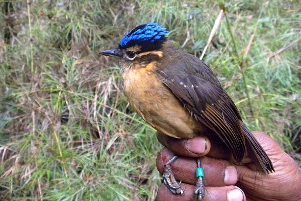 kosovec šoupálčí modrohlavý jedovatý pták