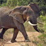 Proč sloni nenávidí drony
