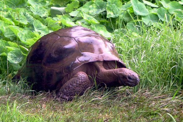 nejstarší želva Johnathan