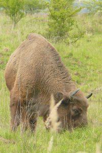Zubří samice si užívá šťavnatou jarní trávu
