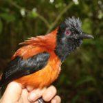 pištec černohlavý jedovatý pták