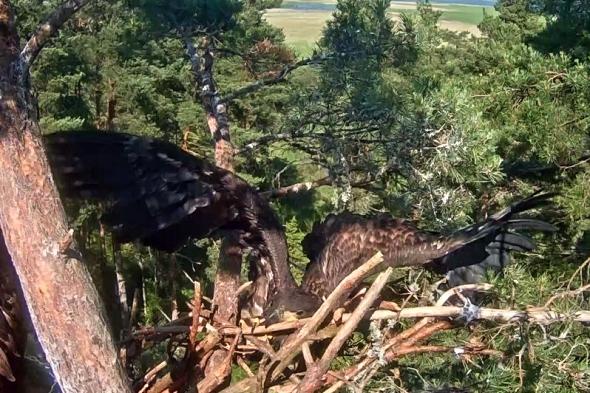 Nord při cvičení spadl z hnízda. Pomocí zobáku a spárů ale dokázal vyšplhat zpět. | Kredit: Tele2/Televõrk, EENet