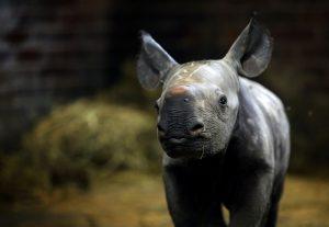 nosorožec mládě sameček