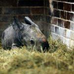 V Zoo Dvůr Králové se narodil nosorožec