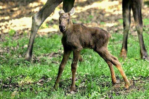 Mláďata losů mají dlouhé nohy, díky kterým vypadají lehce komicky. | Kredit: © Zoo Brno