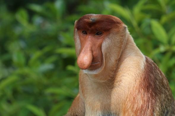 kahau nosatý samec