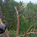 LIVECAM: Orel mořský v Estonsku