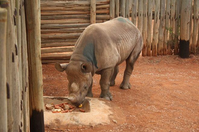 nosorožec Eliška v Mkomazi