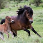 Hřebec divokých koní školí svoje syny