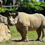 Nosorožčice Eliška odjela do Afriky