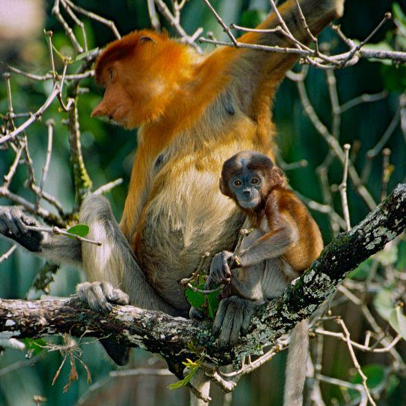 Kahau mládě